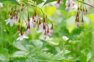 Styrax japonicus 'Pink Chimes' met wilde aardbei